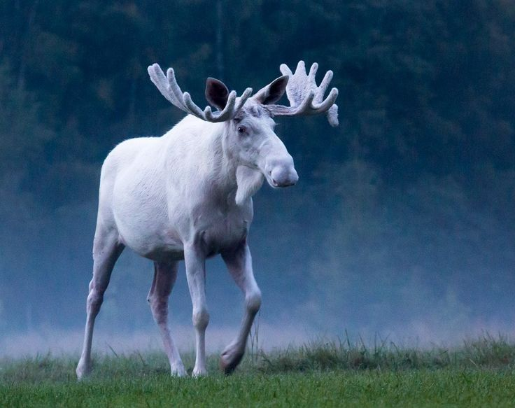 white moose symbolism within a dream
